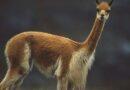 Reserva Nacional Pampa Galeras celebra su 53 aniversario conservando la vicuña