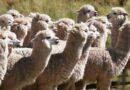 Día Nacional de la Alpaca: conoce las variedades y la importancia de este camélido peruano