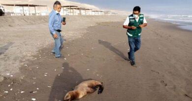 SERFOR exhorta a la población a no acercarse a los animales silvestres marino costeros varados en las playas