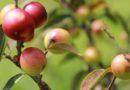 Investigadores desarrollan una nueva variedad de camu camu con alta dosis de vitamina C